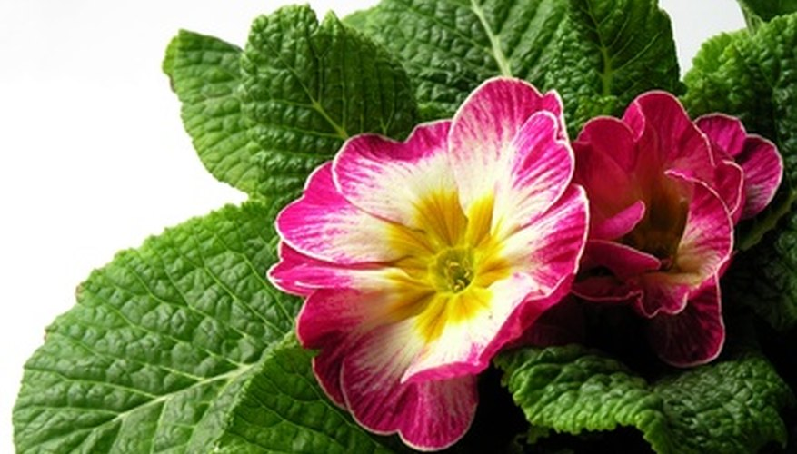 Primroses are low-growing perennials.