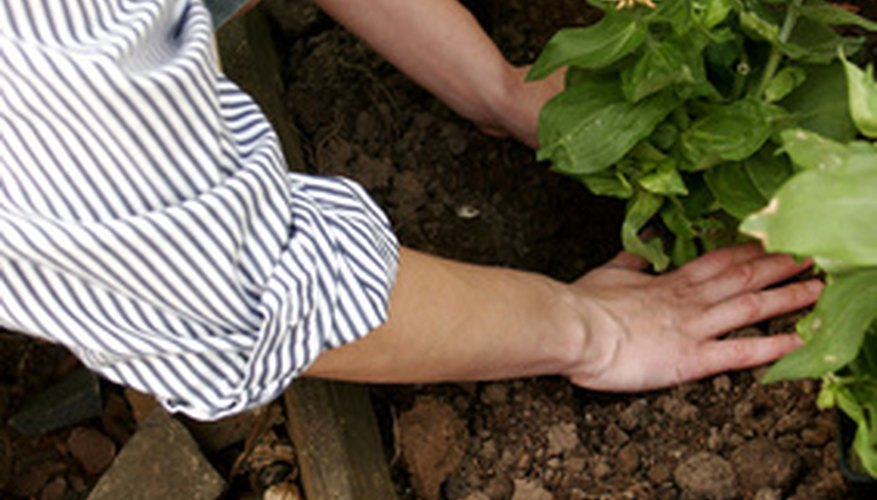 Soil should be light and easy to dig before planting