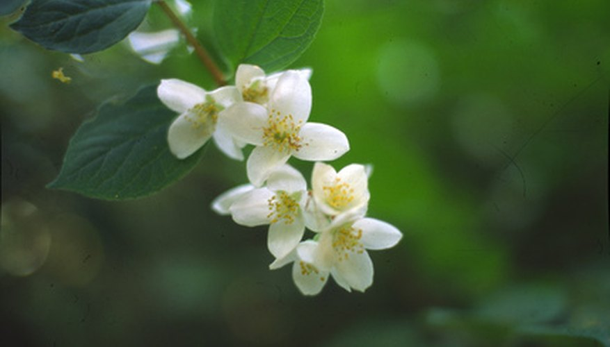 Jasmine will fill the garden with fragrance.