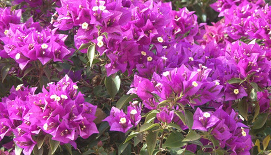 Bougainvillea vines bloom in a wide range of bright colors.
