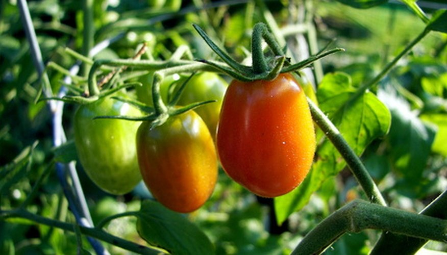 Protect tomatoes from freezing temperatures.