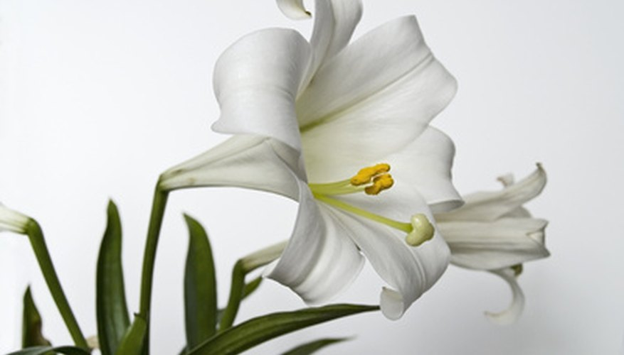 A classic Easter lily in full bloom
