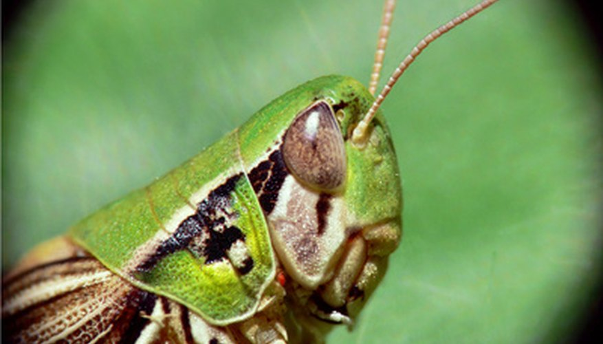 Grasshopper heads feature large eyes, generally short antennae, chewing mandibles and plate-like pronotum.