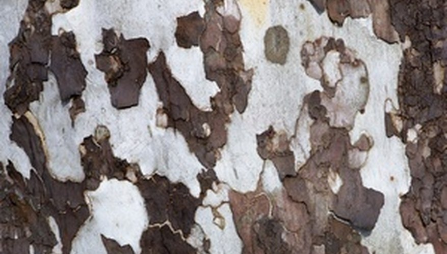 The sycamore tree is easily identified by its bark.