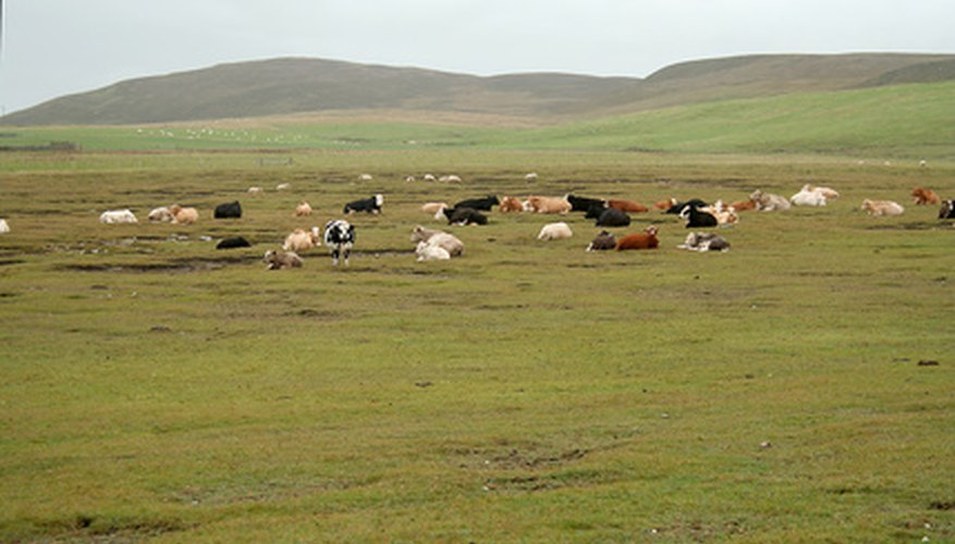 Cattle on the range.