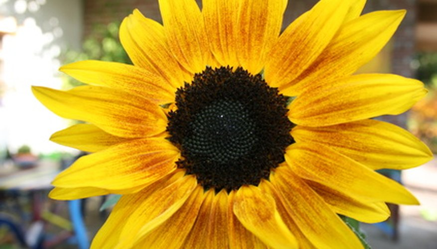 Add color and attract wildlife with sunflowers.