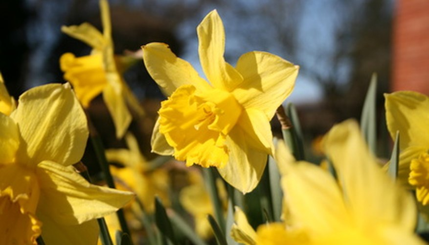 Daffodil bulbs need nutrients to bloom again the next year.