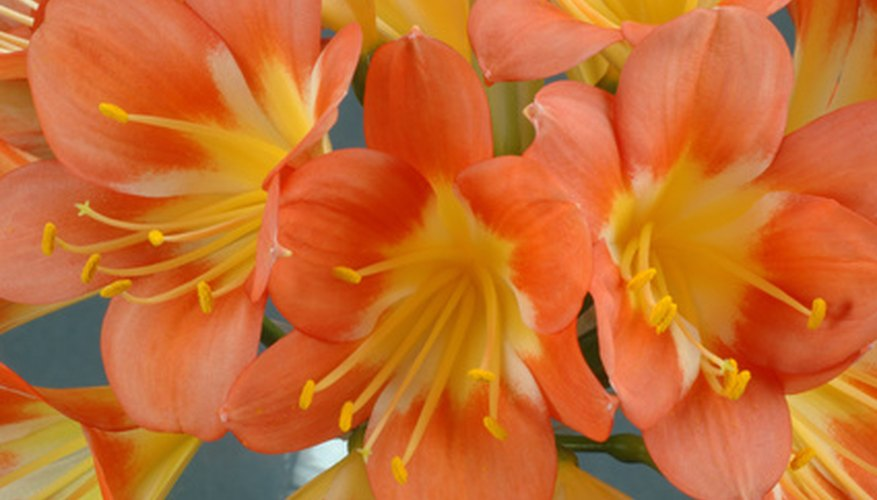 Clivia flowers range from gold to orange and orange-red.