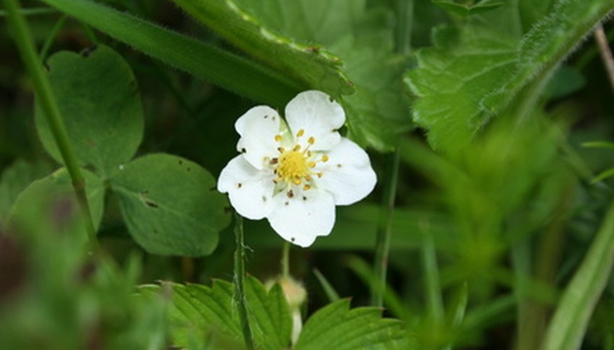Wild strawberries thrive in Northern Idaho.
