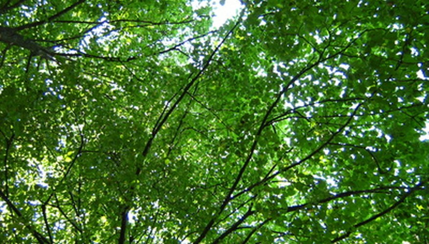 Green ash trees have a large canopy that provides plenty of pleasant shade.