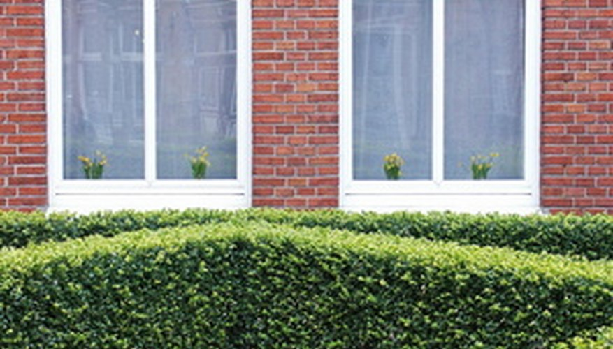 The most common use for boxwood is a tidy hedge.
