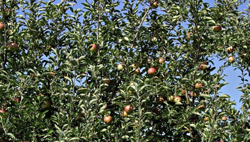 Dwarf Fuji apples can produce in one year.