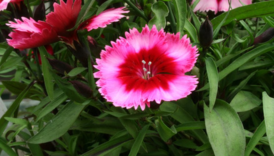 Dianthus excels when planted within a retaining wall.