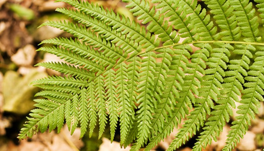 Ferns are one type of non-flowering plant.
