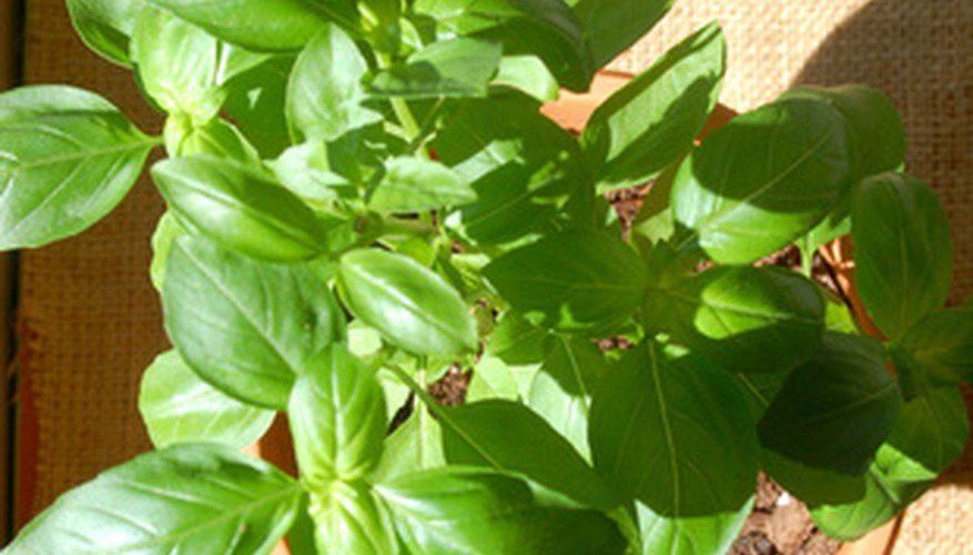Remove the flower stem from basil harvested for the kitchen or fresh market sales.