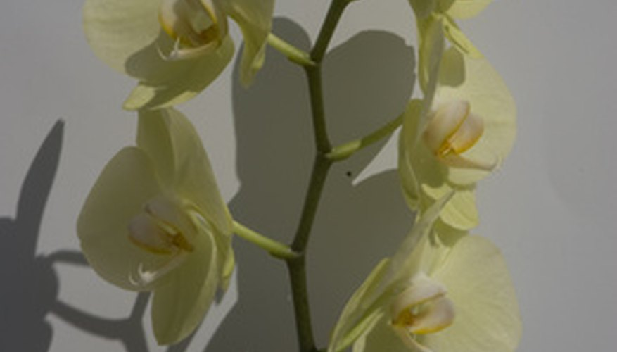 Monopodial orchids have one stem.