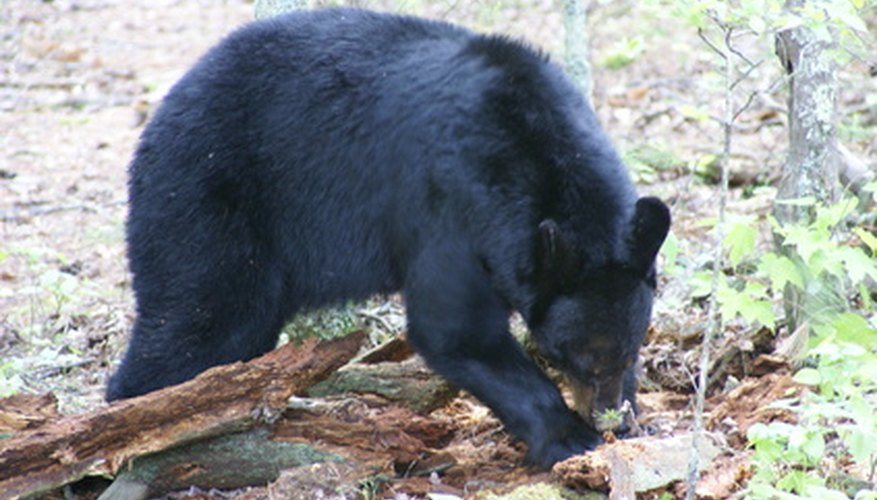 Black bear digging for food