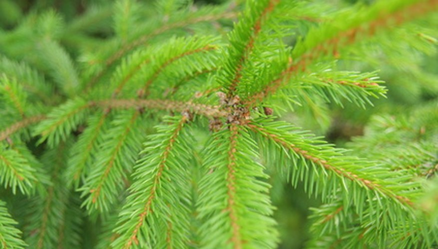 Norway spruce's evergreen needles are short and prickly to the touch.