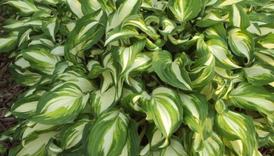 Hosta with variegated colored leaves