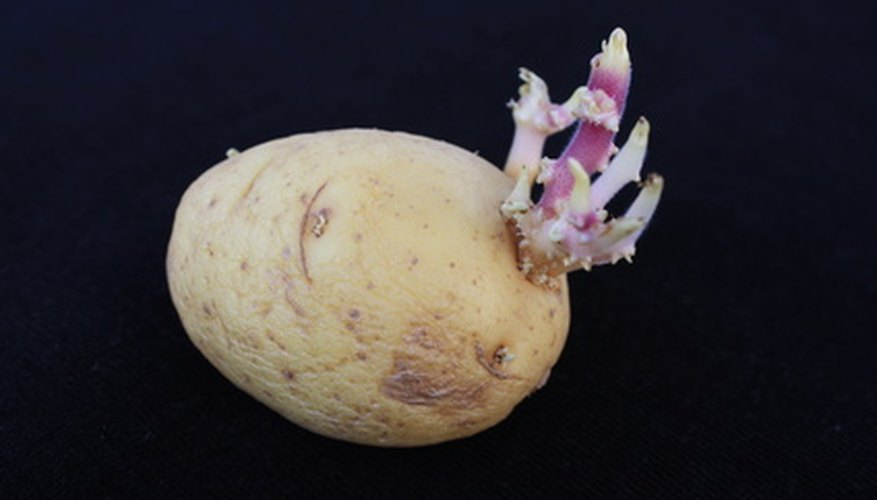 A sprouting potato.