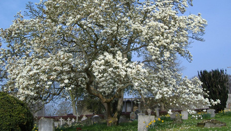 A magnolia tree in all its grandeur.