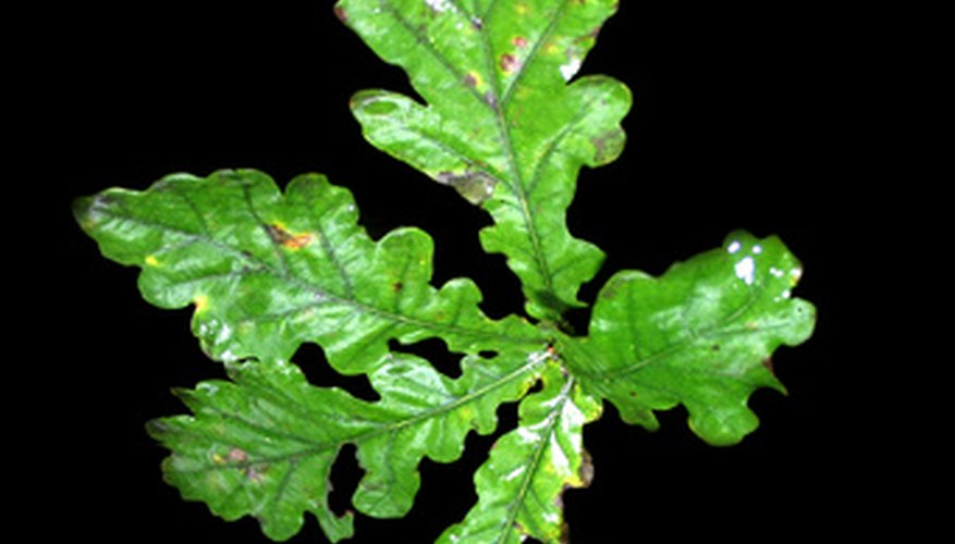 White oak leaves have rounded lobes.