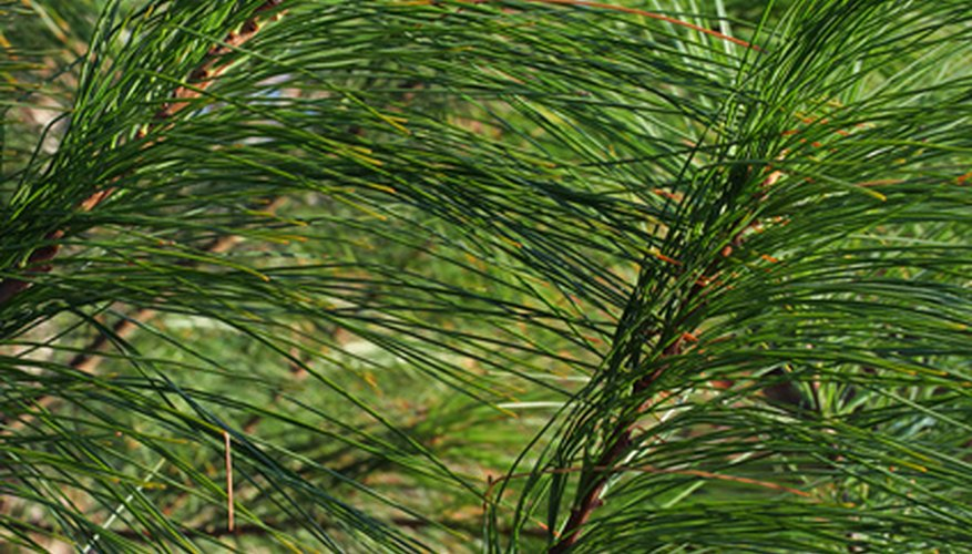 The soft, bundled needles of a white pine tree.