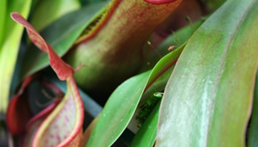 Highland nepenthes is an easygoing houseplant.