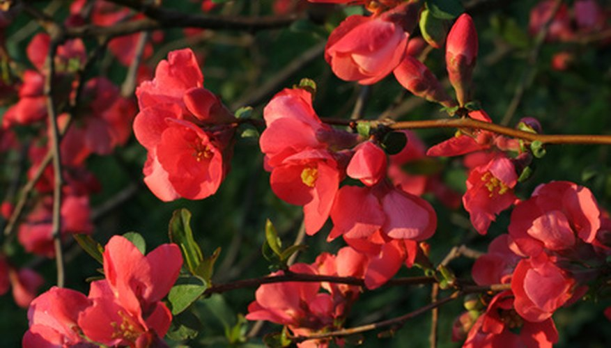 Transplant flowering quince in the dormant season.