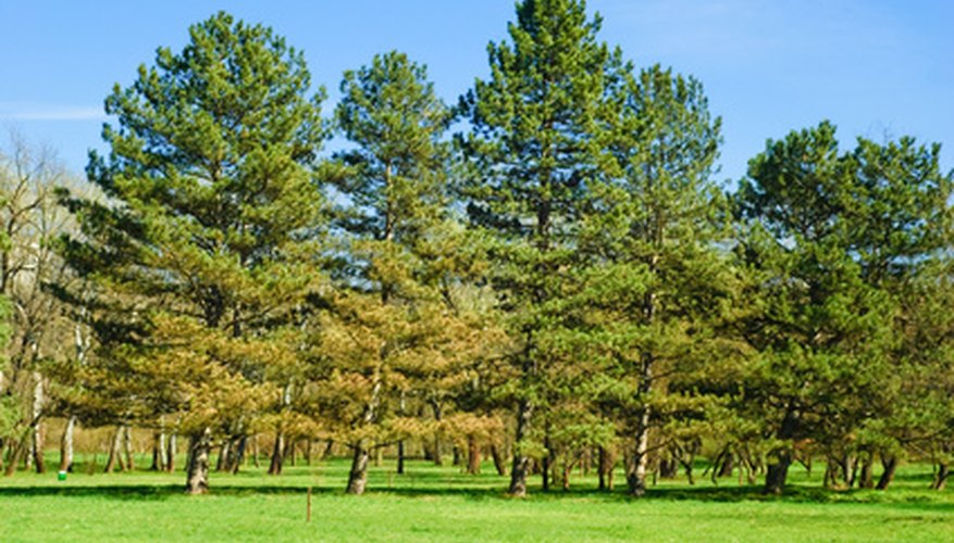 Pine trees may require specialized fertilizer to maintain their nutrition levels.