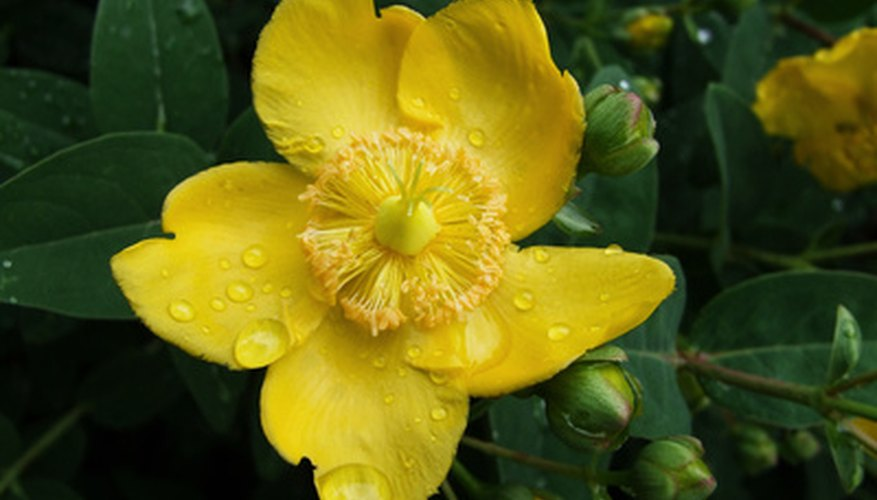 Hypericum bloom.