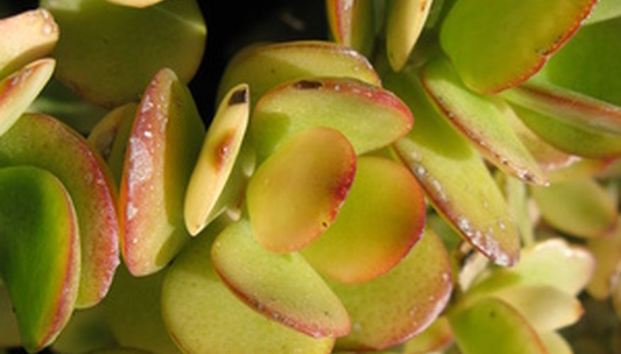 The jade plant is a common succulent pot plant that needs careful water care in order to thrive