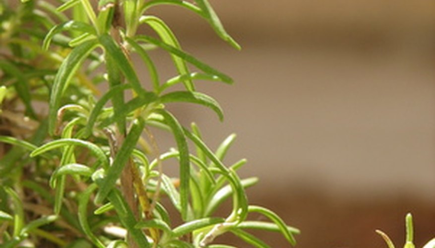 Young rosemary plant