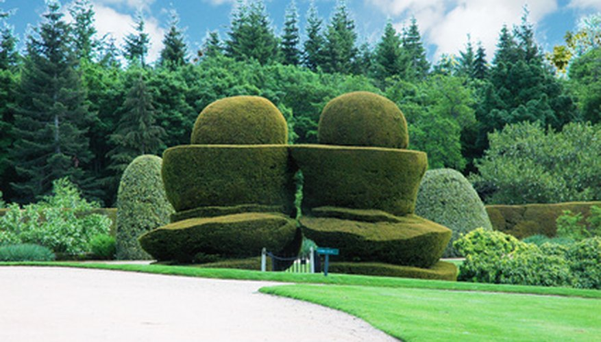 Keep topiary plants moist when they are becoming estabished.