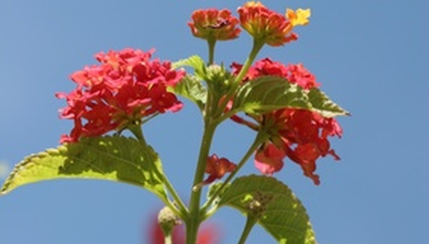 Lantana has deadly foliage.