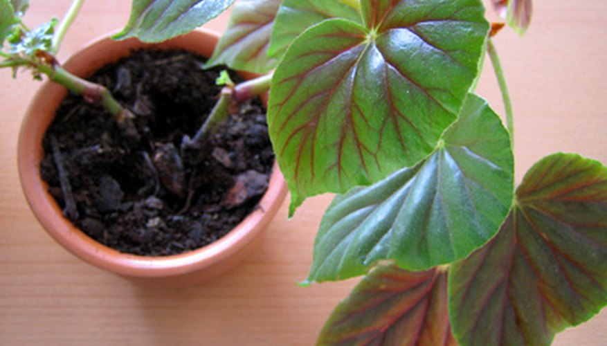 Thick-stemmed begonia