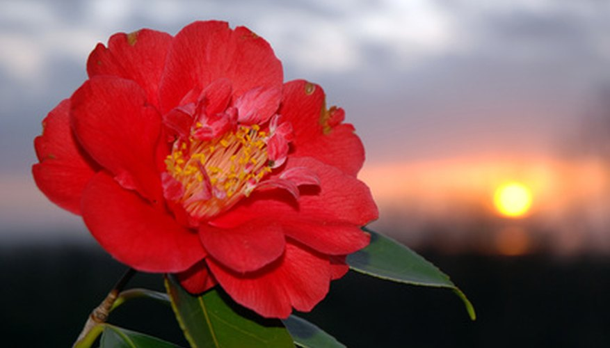 Camellia bloom with visible stamens