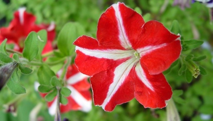 Red petunias are also available as bicolors.