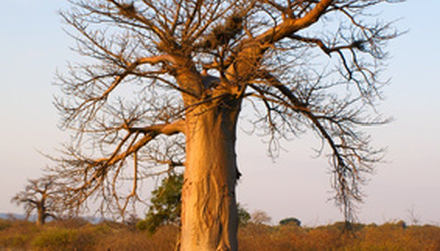 The trunk of the baobab tree has plenty of room for water.