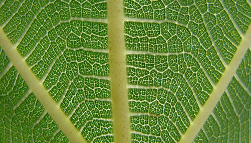 Fiddle leaf fig tree leaves have attractive, prominent veins.