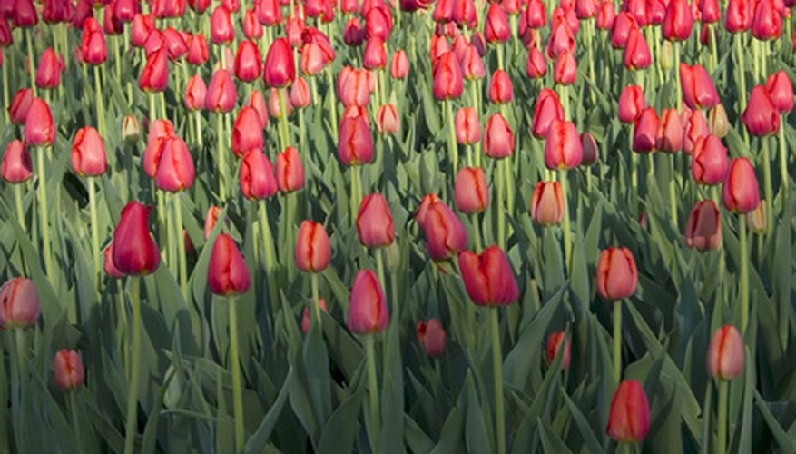 Tulips vary widely in appearance depending on the variety.