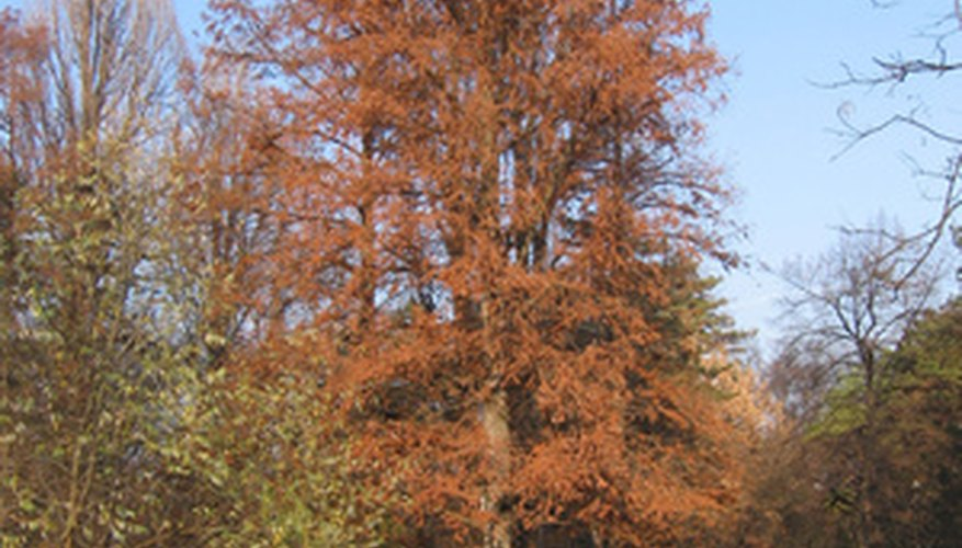 A deciduous conifer, the needles turn rusty orange in autumn before dropping off.