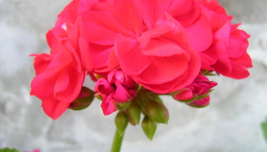 Geranium blooms are made up of tiny flowers.