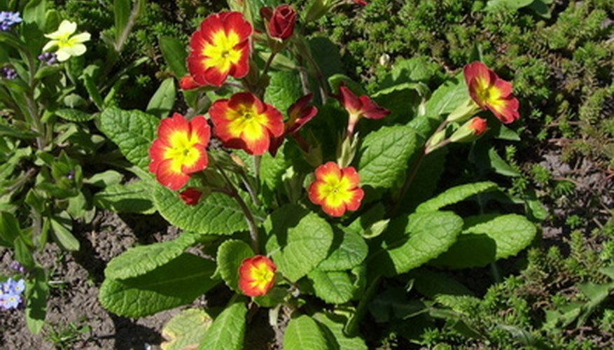 A multicolored cowslip primrose.