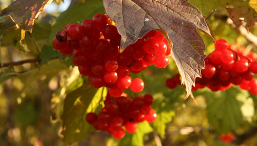 Viburnum shrubs show off attractive fruit.