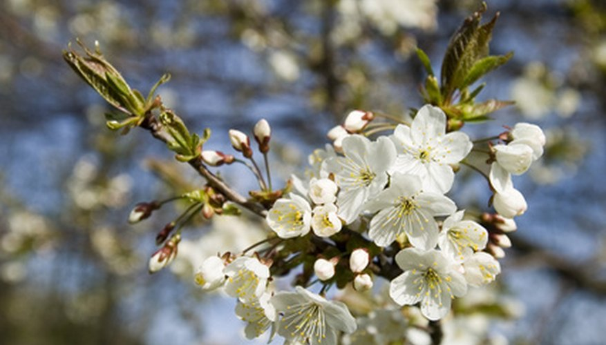 Prune cherry trees in the summer to avoid disease.