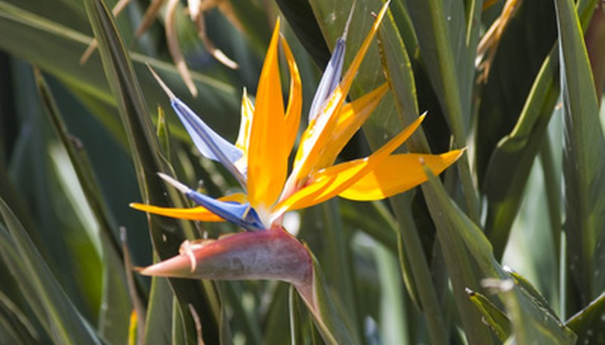 Bird of paradise flowers have a strong resemblance to a bird.
