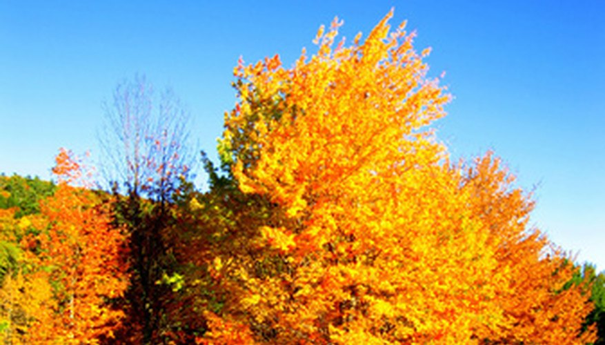 Maple trees are a popular landscape tree.