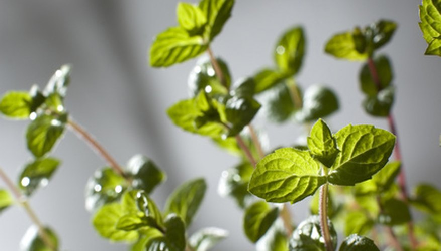 Healthy oregano stays green with a watering system.