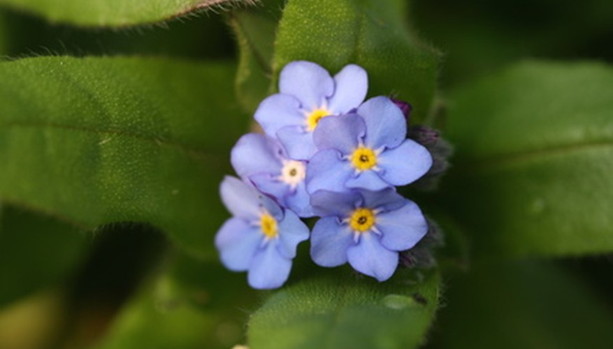 Forget-me-nots grow best in moist, shady areas.